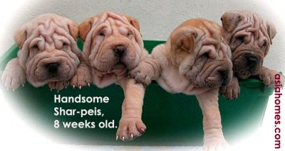 Chinese shar-peis for sale, Singapore $1,700. asiahomes.com