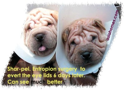 Shar-pei puppies can see the world normally 6 days after entropion surgery, Toa Payoh Vets
