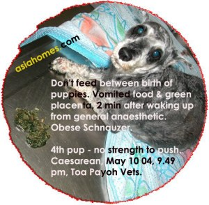 After Caesarean, waked up, Schnauzer vomited. Fed during delivery of lst pup.