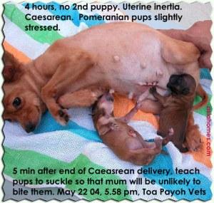 Pom - 4 hrs, no puppy, Caesarean saved 2 pups.