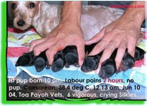 Caesarean 2 hrs after no pup, labour pains - gives vigorous pups