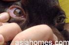 Singapore Labrador eye conjunctival membranes were normal in colour