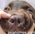 Labrador puppy had a slight nasal discharge 48 hrs post injection.