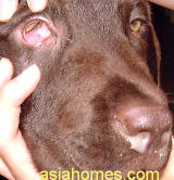 Singapore cholcolate labrador retriever with upper respiratory infection