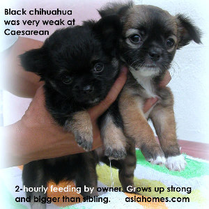 Alive and kicking, the vet was wrong about the black chihuahua, the owner said.