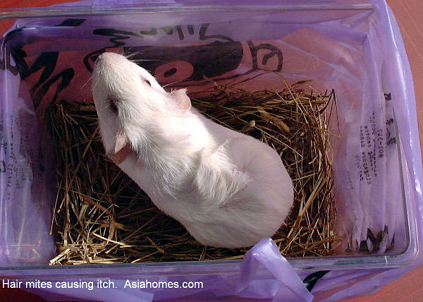 Guinea Pig Ear Mites Treatment http://www.asiahomes.com/singaporetpvet/1210hair_mites.htm
