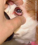 Left corneal ulcer