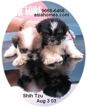 Singapore born Shih Tzus for sale, 9668-6468