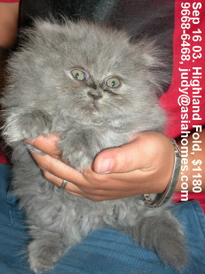 Singapore kittens for sale - Highland Fold 8 weeks