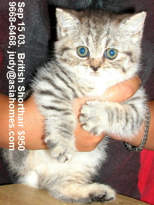 Singapore kittens for sale - British Shorthair 8 weeks