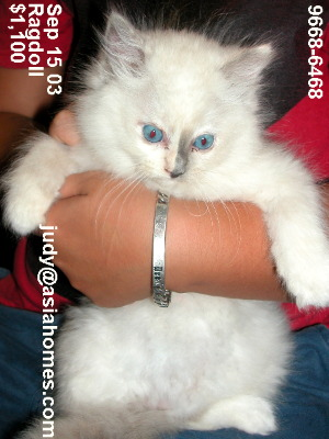 Singapore kittens for sale - Ragdoll 8 weeks