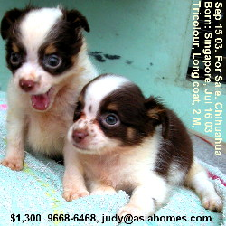 Singapore chihuahuas for sale/export,  +65 9668-6468