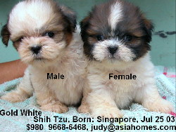 Singapore shih tzus for sale/export,  +65 9668-6468