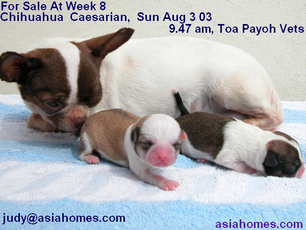 0829ASingapore veterinary English/British Bulldog ...