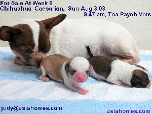 Singapore-born, Chihuahua puppies for sale at week 8