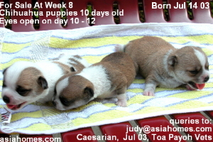 Chihuahua puppies.  Eyes open at day 10 - 12.