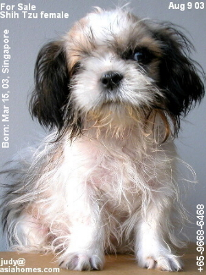 Female, Singapore-born, Shih Tzu puppy for sale $600