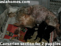 Caesarian section - 2 live puppies