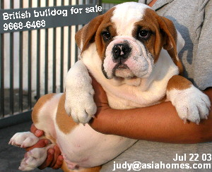 British bulldog puppy 4 months for sale, 9668 6468