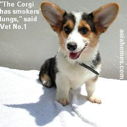 "Corgi puppy has ""smokers' lungs"" and heart murmurs, Singapore"