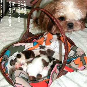 Shih Tzu 58th day pregnant  Singapore