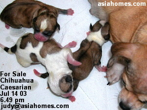 Born at 56th day pregnancy - Chihuahua puppies, Singapore