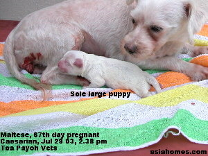 Singapore-born, Maltese puppies for sale at week 8