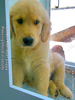 Golden retriever puppy passed red blood in stools