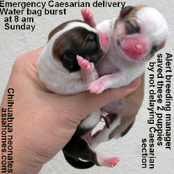 Sunday morning emergency Caesarian, Singapore chihuahua
