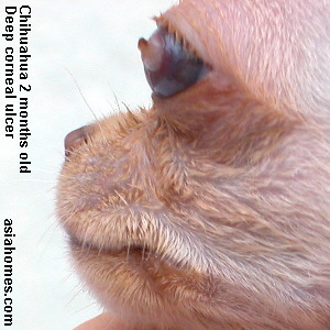 Deep corneal ulcer in a chihuahua puppy