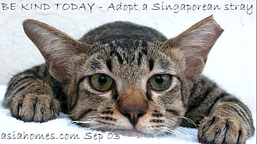 Singaporean stray cat neutered and left ear clipped for adoption, 9668-6468