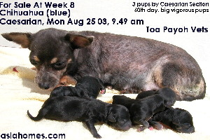 Black chihuahua puppies for sale at week 8, Singapore 9668-6468