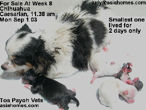 Chihuahua emergency Caesarian 4 pups live, Singapore