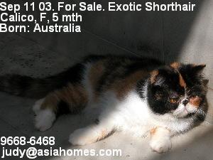 Kitten for sale, Exotic shorthair, Calico Singapore