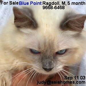 Kitten for sale, Ragdoll Blue Point, Singapore