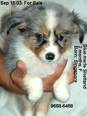 Singapore puppies for sale - Sep 03. Shetland Blue Merle