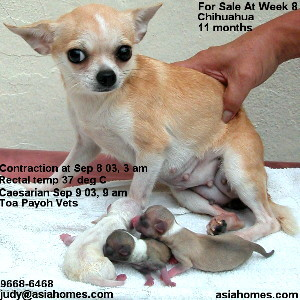 White Chihuahua puppy for sale in Nov 2003, tel 9668-6468