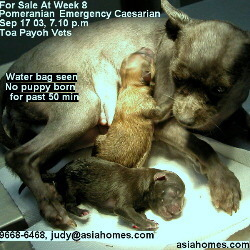 Pomeranian Caesarian, Singapore - wakes up at the last stitch