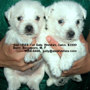 Singapore puppies for sale - Sep 03. Westies