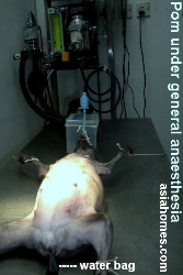 Singapore Pomeranian Caesarian - general anaesthesia before Caesarian delivery