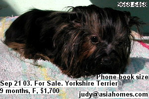 Miniature Yorkshire terrier 9 months, phone-book size, for sale