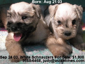 Singapore born Schnauzers for sale, 9668-6468.