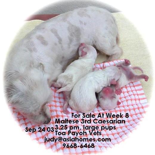 Chihuahua. For Sale in Nov 25 03 Mini-Maltese. For Sale in Nov 24 03