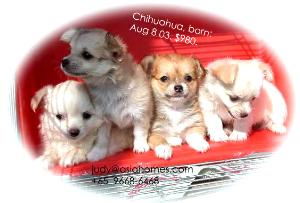 For sale. Chihuahua puppies from Singapore, 9668-6468