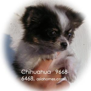 For sale. Chihuahua puppy from Australia, 9668-6468