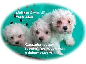 Singapore. Timely emergency Caesarean saved Maltese puppy (middle). The other 2 were delivered naturally.