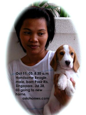 Beagle puppy is ready to go to the new home as the PSLE exam are over. Toa Payoh Vets