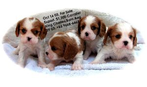 Singapore born Cavalier King Charles puppies, 6 weeks, for sale.