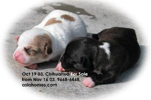 Singapore born puppies for sale: Chihuahua (silver & white)