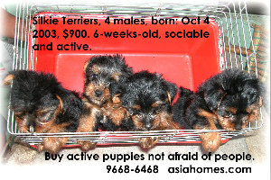 Nov 21 03. Silkie terrier puppies for sale.  9668-6468